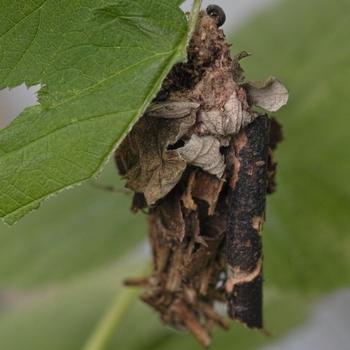 Eumeta japonica.jpg