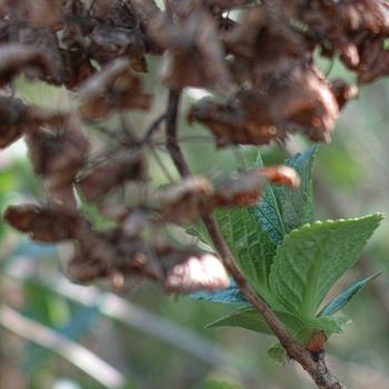 hydrangea_macrophylla.jpg